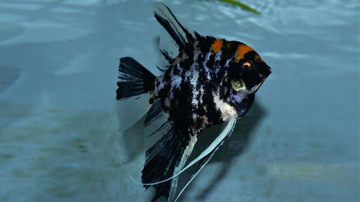 black and white angelfish