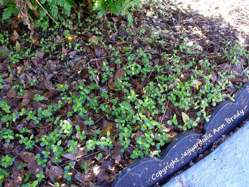 Drake Chinese Elm Seedlings under the Daisy Bushes