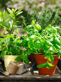 https://proverbsthirtyonewoman.blogspot.com/2013/05/the-1-biggest-mistake-when-growing-herbs.html