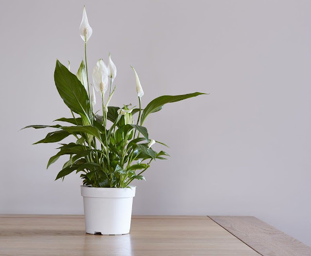 peace lily care, plants that require less sunlight, peace lily care indoor, peace lily care indoor, plants that give most oxygen, take care of peace lily, japanese peace lily care, top 10 air purifying plants, peace lily light, best plants to grow in low light, peace lily flowers green, peace lily watering, plants that need zero sunlight, peace lily maintenance, overwatering peace lily, peace lily not growing, best way to grow money plant, top 10 air cleaning plants, best time to water indoor plants, best water for lucky bamboo, which plants purify air, feng shui good luck indoor plants, best indoor plants for low light, suggested indoor plants, best time to water house plants, best plants for air pollution, peace lily grow in water, care for peace lily houseplants, peace lily good for home, best dorm room plants, spider plant good for air, best indoor plants for east facing window, good indoor flowering house plants, plants that purify the air in your home, best indoor plants- the complete guide, indoor plants that need minimal light, zamioculcas zanzibar plant