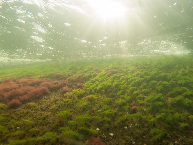 Värikkäitä rihmaleviä kalliopohjalla veden alla