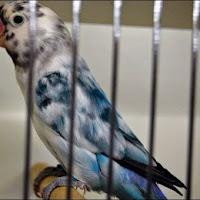 7 Jenis Burung Lovebird Gacor, Bagus untuk Lomba