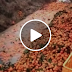 Awas buah limau Mandarin (Tangerine) mungkin beracun