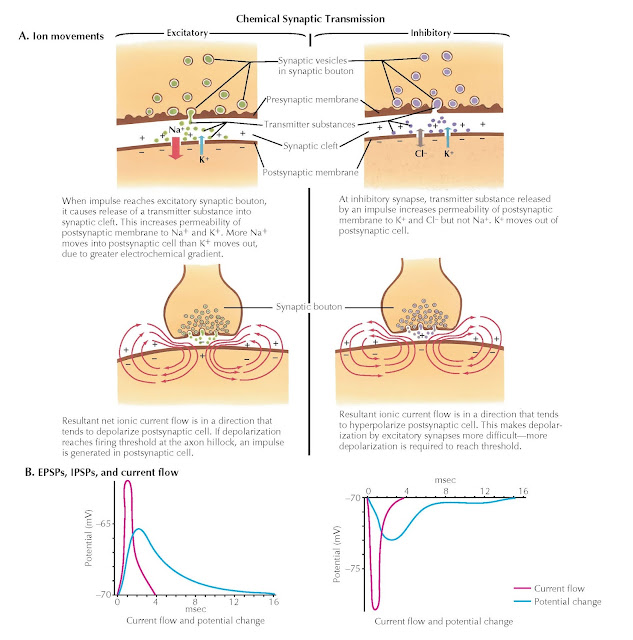GRADED POTENTIALS IN NEURONS