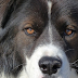 Abnormal Eyelid in Dogs