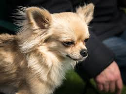 chihuahua lifespan average