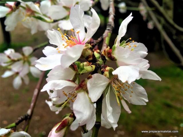 ver almendros en flor en Madrid, Quinta Molinos