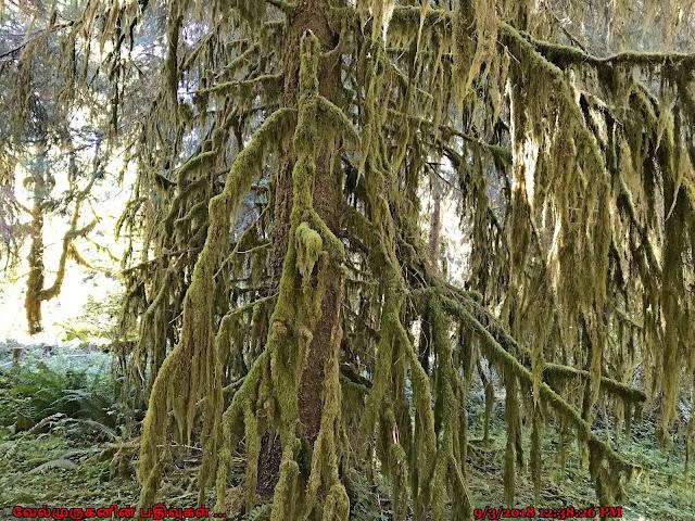 Western Hemlock Hoh Rain Forest