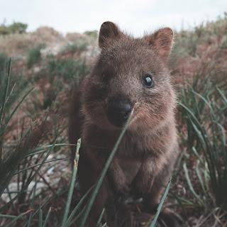"""QuokkaSelfies"""" – Meet the World's happiest... Around 10,000 Quokkas live on Rottnest Island today.   The quokka is a marsupial. Ben185/iStock via Getty Images."""
