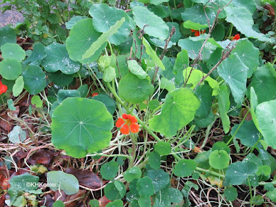 nasturtium, December, London