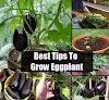 Growing Eggplant From Seeds #vegetable_gardening