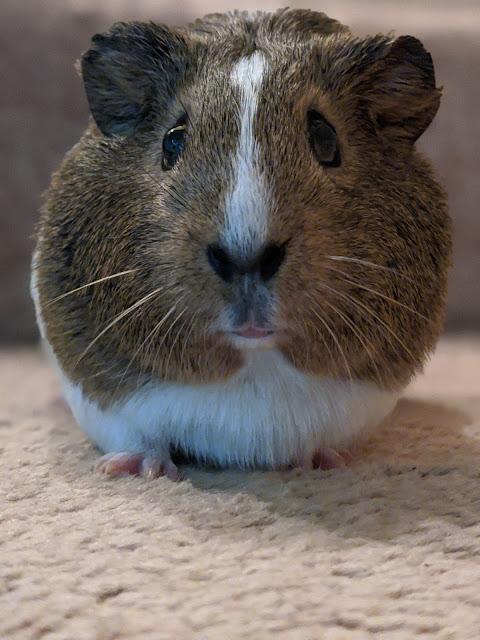 Guinea Pig Lumi