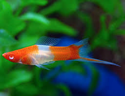 How fast can a swordtail run?