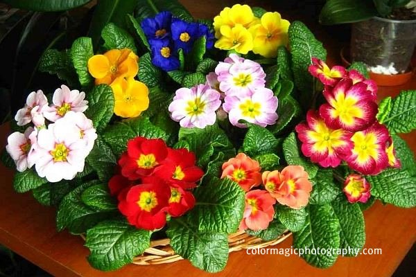 A basket of primroses