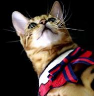 Cara Memelihara Kucing Bengal