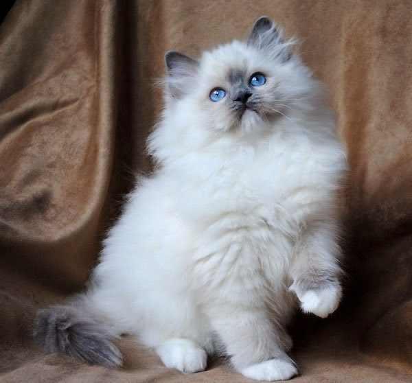 gato-ragdoll-cuidados-docil-