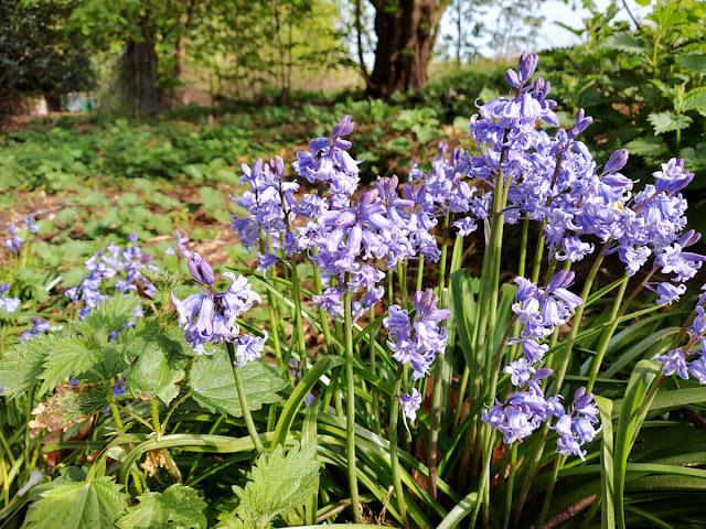 Close up of Spanish bluebells with green leafy plants in the background
