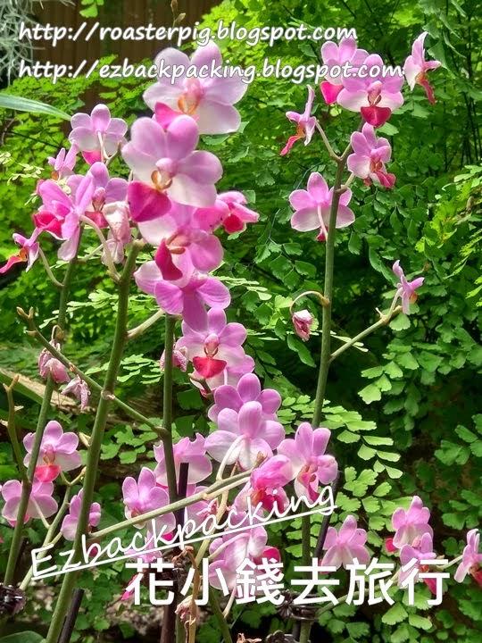 艷花蝴蝶蘭