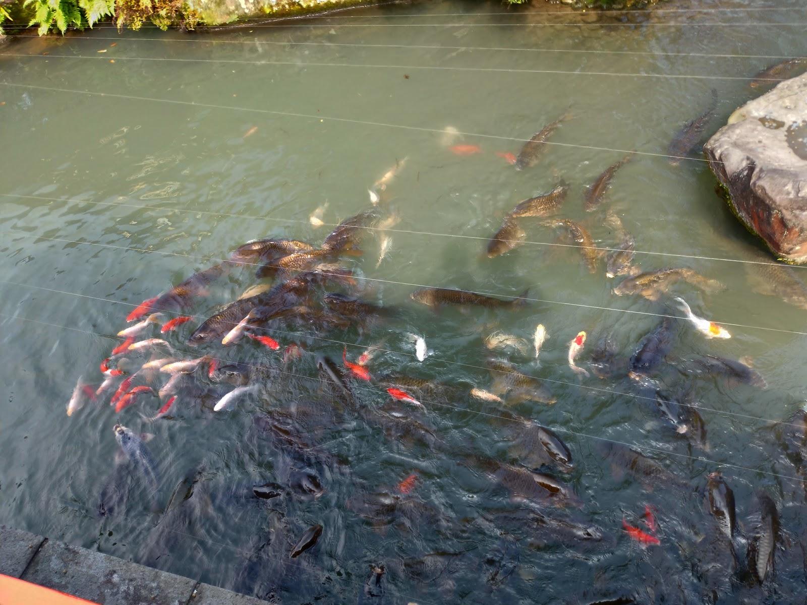 佐賀・祐徳稲荷神社の鯉