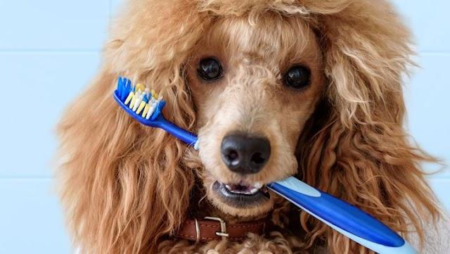 Πώς να βουρτσίζετε τα δόντια του σκύλου σας