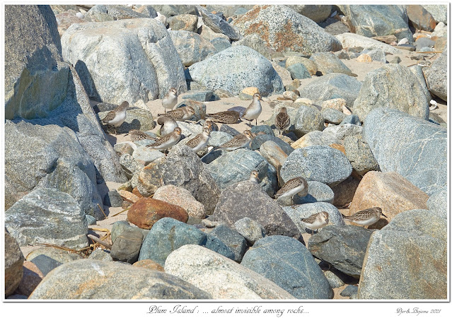 Plum Island: ... almost invisible among rocks...