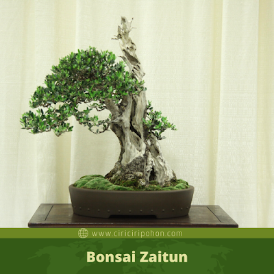 Bonsai Zaitun
