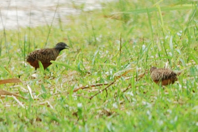 Barred buttonquail, Lorong Halus