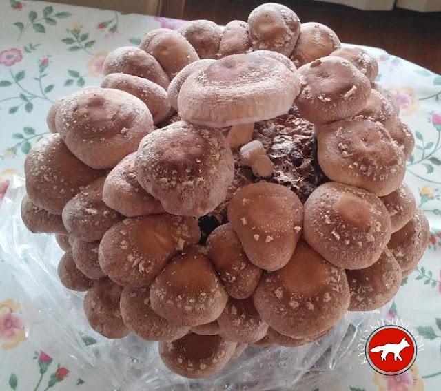 culture de shitake, champignon du Japon
