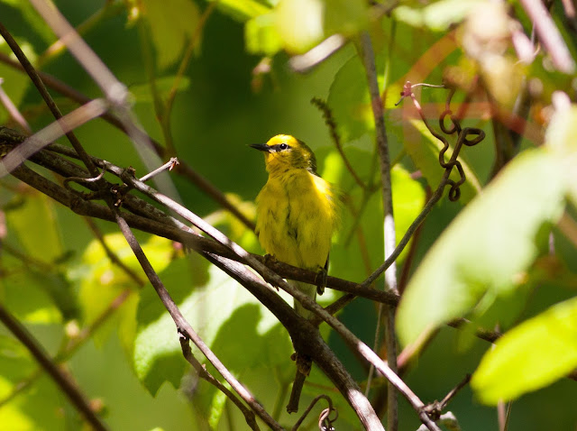 Blue-winged Warbler - Doodletown, New York