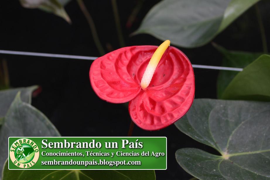anthurium flor roja