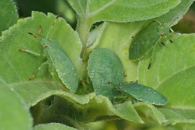 Larven der Grünen Stinkwanze (Palomena prasina)