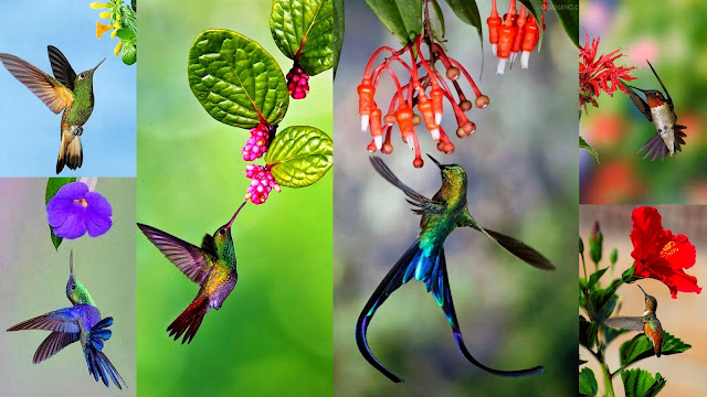 Hummingbirds, owner of largest brain and heart