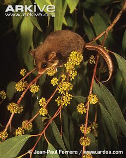 Acrobates pygmaeus