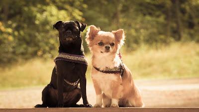 Tierfotografie Tier-Portrait Chihuahua- Hundedamen