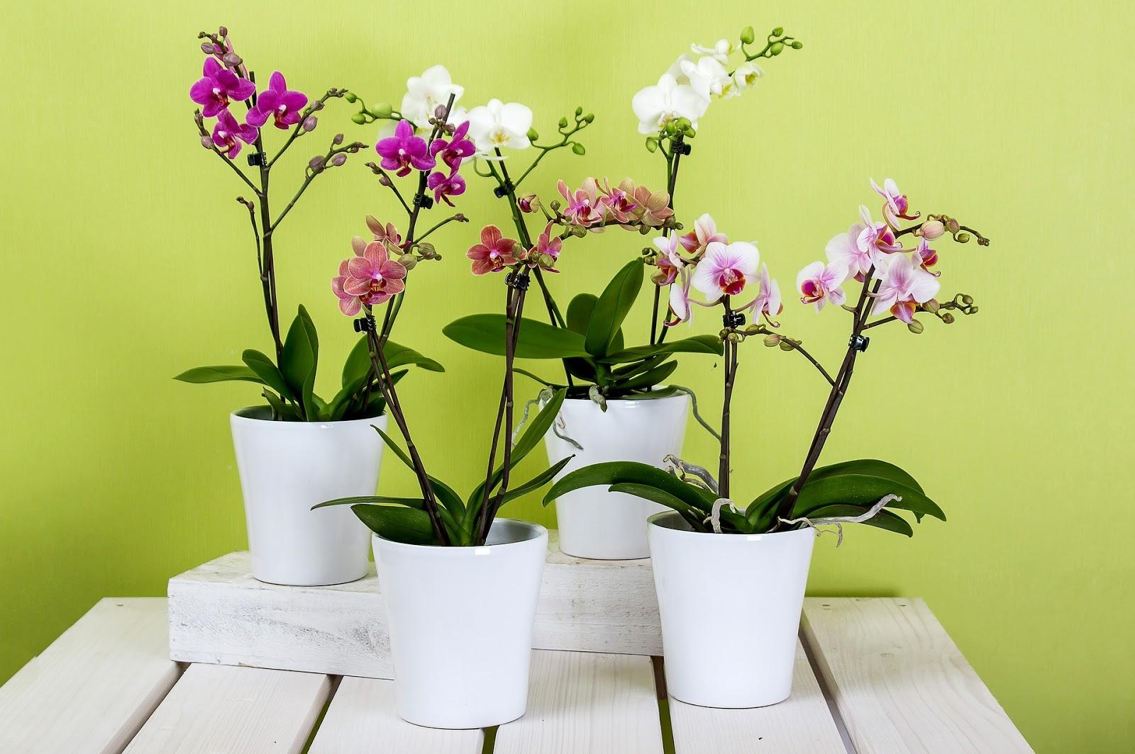 Gambar bunga anggrek dalam pot