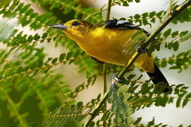 Makanan dan Perawatan Burung Sirtu