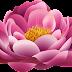 rose flower 5092