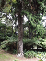 Drooping conifer branches - Pukekura Park, New Plymouth, New Zealand