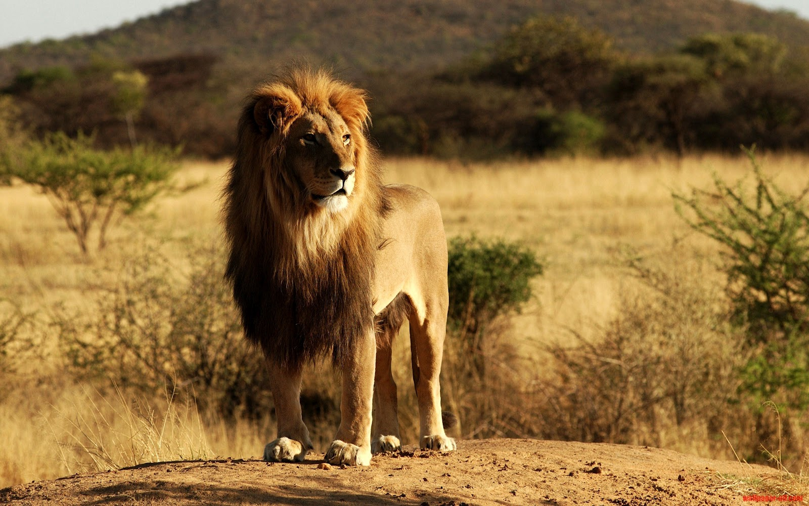 Cute Funny Animals Wallpapers 26 Beautiful Amp Amazing Lion The King Of Forest Wallpapers Hd