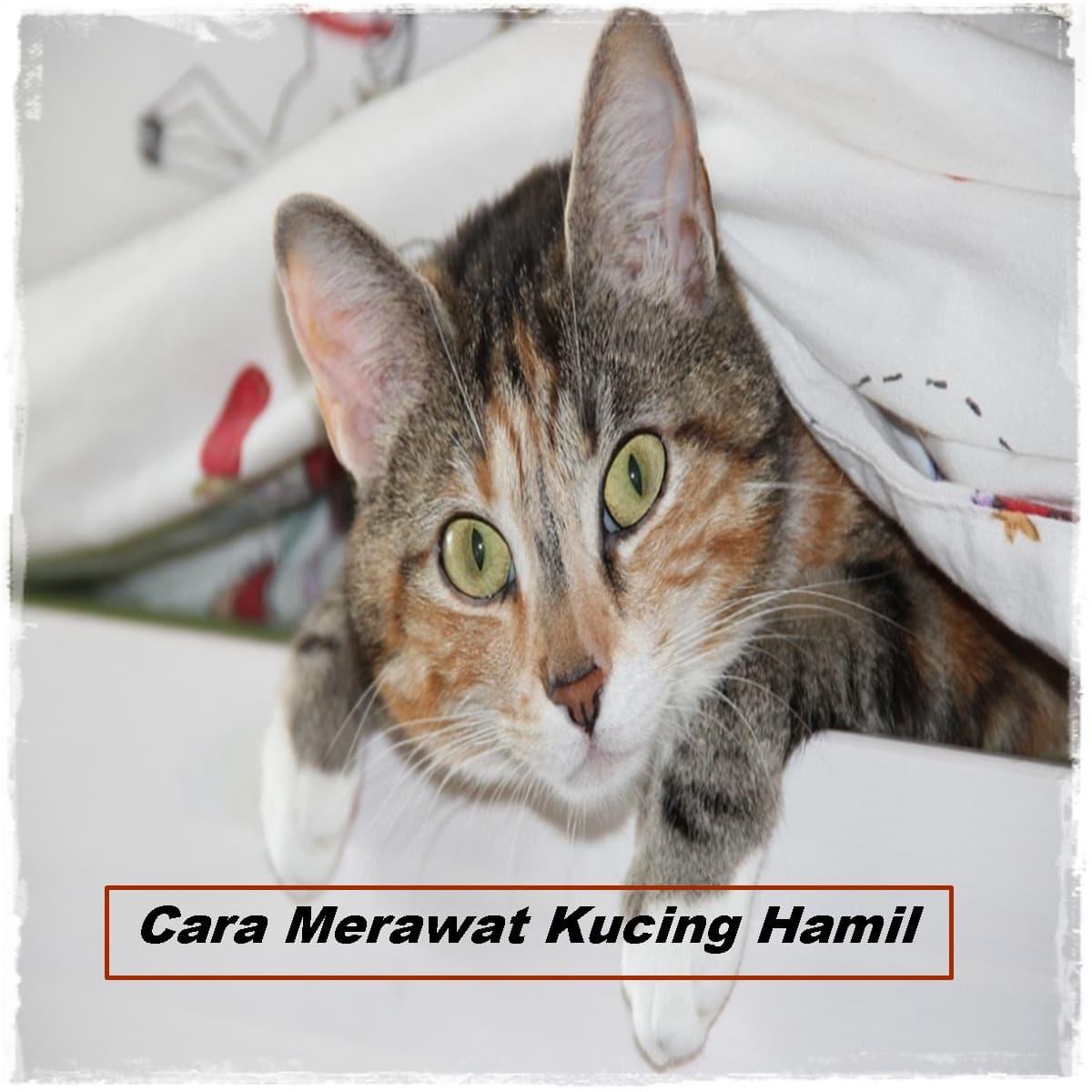 Cara Merawat Kucing Hamil yang Benar Untuk Pemula