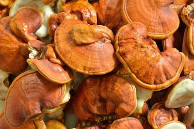 Ganoderma Mushroom Supplier in South Africa