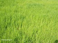 Rice paddy, Kagoshima, Japan