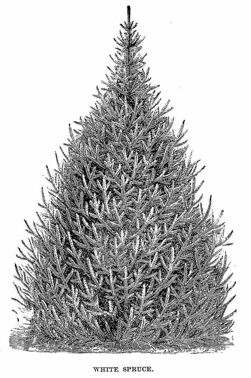 1883 garden tree illustration, garden pine