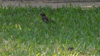 Common Myna bird on grass
