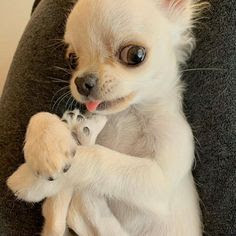 Top 5 funny chihuahua faces: a list of your 5 favorite chihuahua facesTumblr