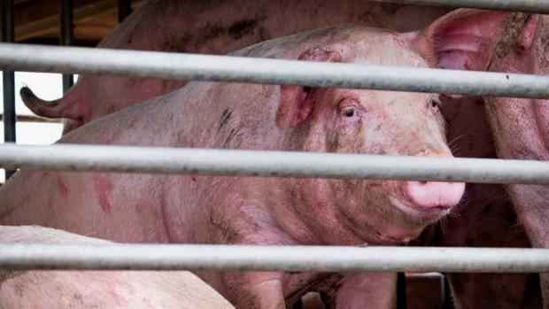 Novo vírus da gripe capaz de causar uma pandemia é encontrado em porcos na China