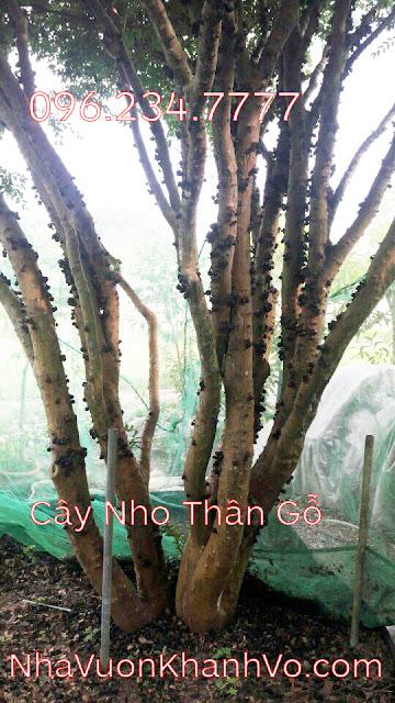 Đăng tin rao vặt: Điều gì khiến cây nho thân gỗ trở nên nóng trên thị trường cây xanh? Cay-nho-than-go-khanh-vo-6