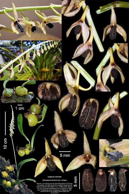 Bulbophyllum phitamii