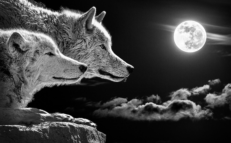 Yellowstone wolves near Lamar Valley