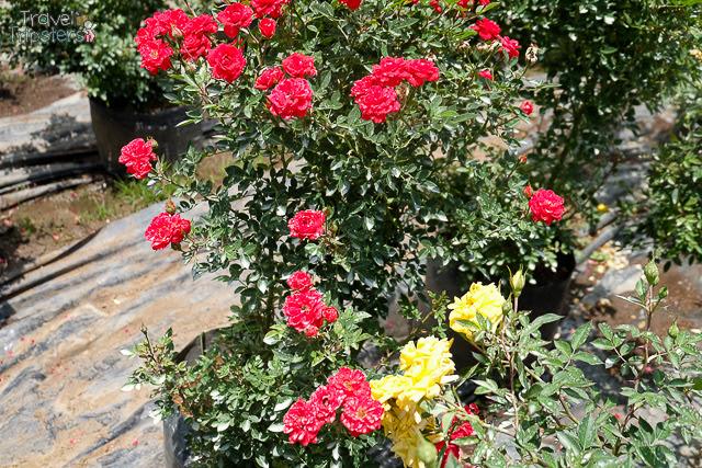 bahong rose farm